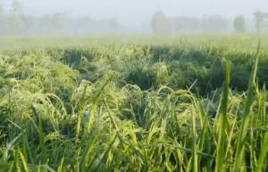 SERTANI 13, Varietas unggul padi dengan jumlah bulir 300-400 per tangkainya !! Luar Biasa